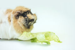 Small Guinea pig eats salad Royalty Free Stock Images