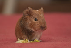 Small guinea pig Royalty Free Stock Image