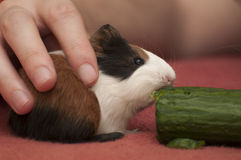Small guinea pig Royalty Free Stock Photos