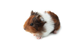 Small guinea pig isolated on white Royalty Free Stock Photography