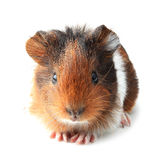 Small guinea pig isolated on white Stock Photography