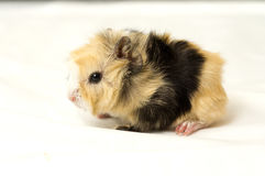 Small guinea pig Stock Image