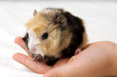Small guinea pig Stock Photo