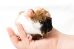 Small guinea pig Stock Photos