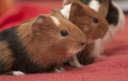 Small guinea pigs Stock Photo