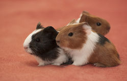 Small guinea pigs Stock Photos