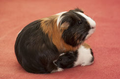 Small guinea pigs Royalty Free Stock Photo