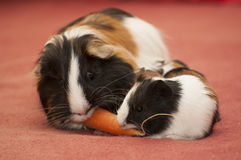 Small guinea pigs Royalty Free Stock Image