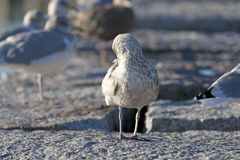 Small Gull Sunning Himself Stock Photography