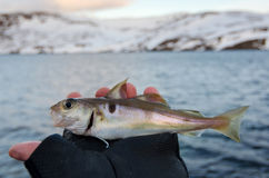 Small haddock in angler hand Royalty Free Stock Image