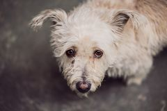 Free Small Hairy Cute Dog With Looking Camera Stock Image - 126009031