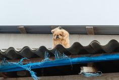 A small hairy dog on the roof of a barn stock images