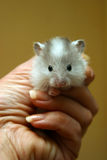 Small hamster - 1. Small hamster in a female hand Royalty Free Stock Image