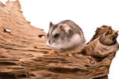 The small hamster Stock Photo