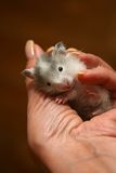 Small hamster - 5 Stock Photo