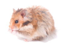 Small hamster Stock Photography