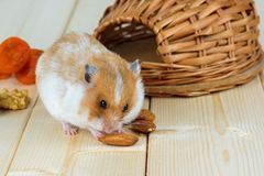 A small hamster eats an almond nut at his house. A small hamster eats an almond nut at his wicker house Stock Photos