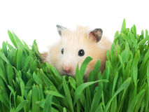 Small hamster in grass Stock Photography