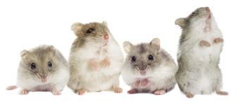 Small hamster Royalty Free Stock Photography