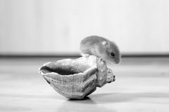 Small hamster on a shell. Stock Photos