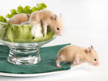 Small hamsters Royalty Free Stock Photography
