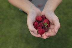 Small hands holding a collection of raspberries Stock Photography