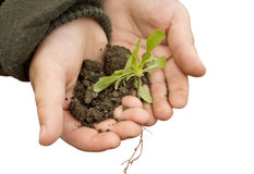 Small hands holding a plant Royalty Free Stock Images