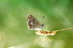 Small happy butterfly. Lovely Butterfly is sitting on a grass (Aricia agestis Royalty Free Stock Photo