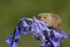 Harvest mouse climbing on bluebell flower royalty free stock image