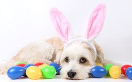 Small havanese easter dog in the studio. Small havanese dog is lying in the studio with colorful easter eggs and funny bunny ears royalty free stock photography