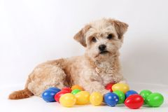 Small havanese easter dog in the studio. Small havanese dog is lying in the studio with colorful easter eggs stock images