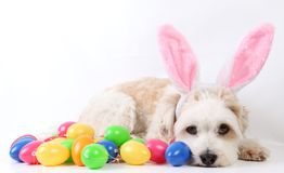 Small havanese easter dog in the studio. Small havanese dog is lying in the studio with colorful easter eggs and funny bunny ears stock photo
