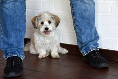 Havanese puppy has got himself in safety between the legs of his owner stock photos