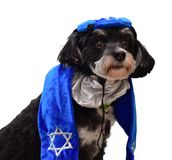 Small Havanese puppy dog dressed for Jewish holiday Hannukah. Small black and white Havanese puppy dog dressed in blue yarmulke tallit and with a Jewish star Stock Photography