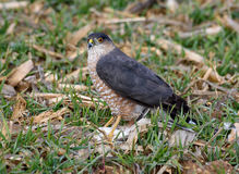 Small Hawk with a small bird Royalty Free Stock Images