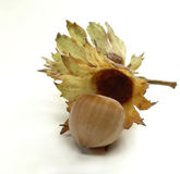 Small hazelnut twig Royalty Free Stock Image