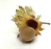 Small hazelnut twig Royalty Free Stock Image