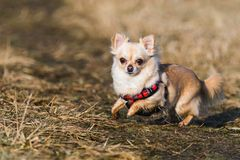 Small healthy chihuahua dog in run. Fast running small dog. Jumping and playing on a field stock photography