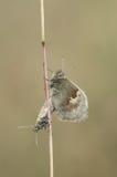 Small Heath Butterflies mating. Stock Photo