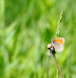 Small heath butterfly Stock Photo