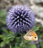 Small Heath Butterfly with closed wings on a flower head Stock Images