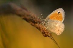 Small Heath butterfly Stock Photos