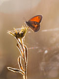 Small Heath Butterfly (Coenonympha pamphilus) Backlit by Morning Royalty Free Stock Image