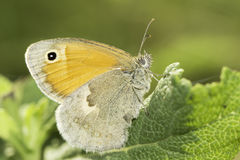 The Small Heath butterfly / Coenonympha pamphilus  close-up Stock Photos