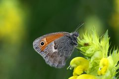 Small heath Royalty Free Stock Photography