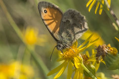 Small heath butterfly (Coenonympha pamphilus) Stock Images