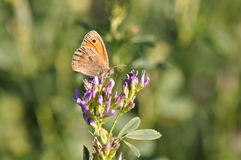 Small Heath Royalty Free Stock Photos
