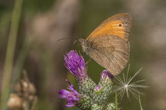 Small heath butterfly (Coenonympha pamphilus) Royalty Free Stock Image