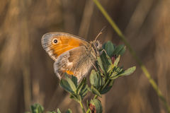 Small heath butterfly(Coenonympha pamphilus) Stock Photography