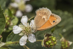 Small heath butterfly(Coenonympha pamphilus) Royalty Free Stock Photography